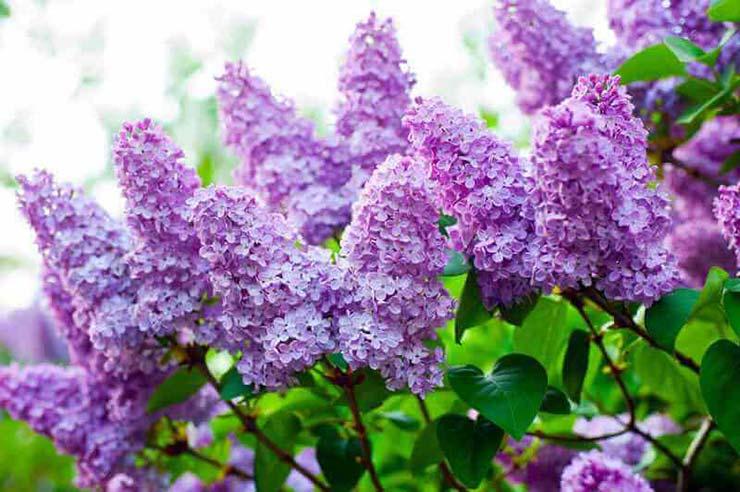 Живые цветы сирени