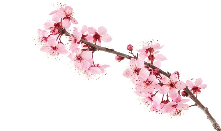 Живая ветка Сакуры