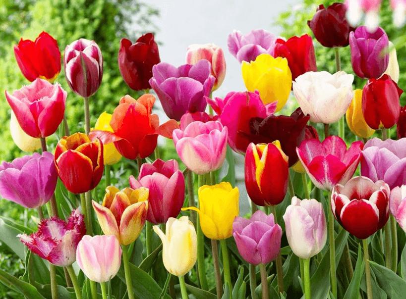 Живые цветы Тюльпанов