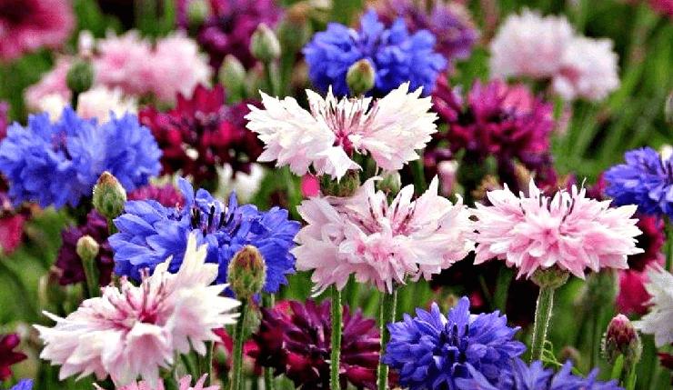 Живые цветы Васильки
