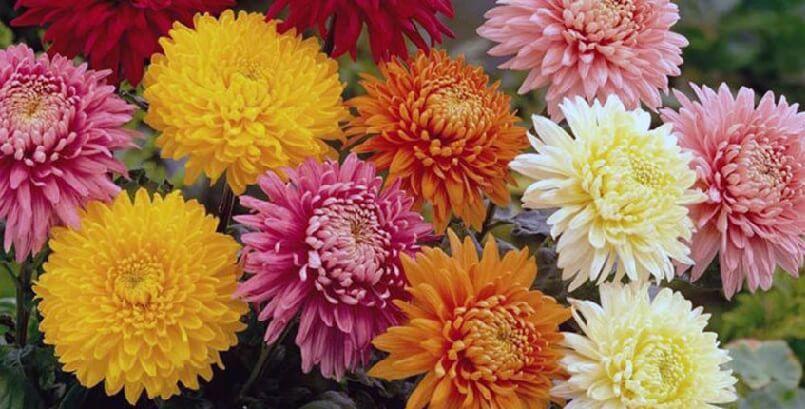 Живые разноцветные хризантемы